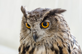 Great-horned owl | Bubo virginianus | by lalo_pangue