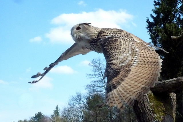 Flying owl named Jack