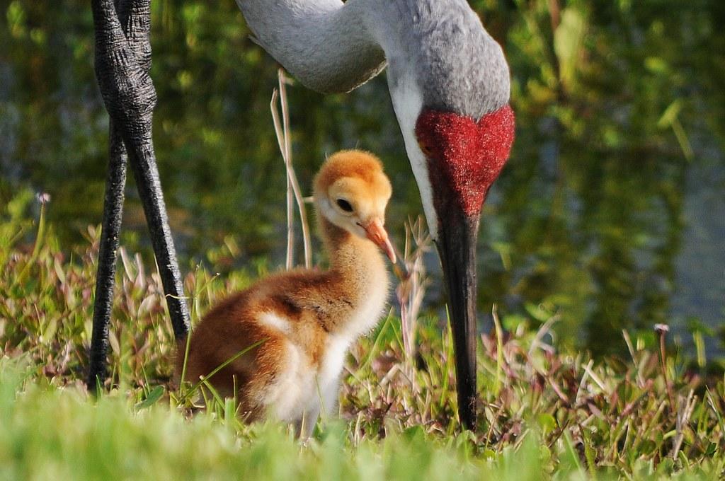 Sandhill crane mom and chick