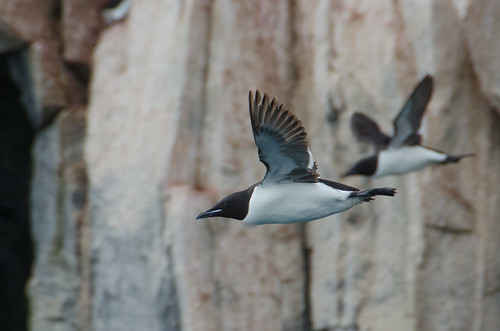 Brunnich's Guillemot gliding down from cliff to sea, Spitzbergen | by Tim Melling