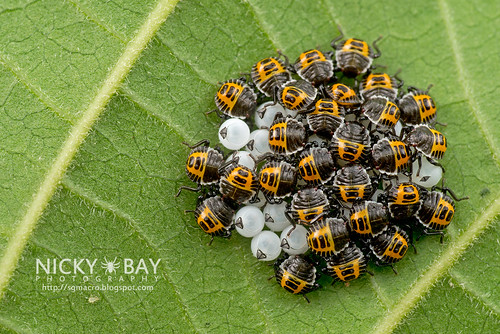 Brown Marmorated Stink Bugs? (Halyomorpha halys?) - DSC_2966 | by nickybay