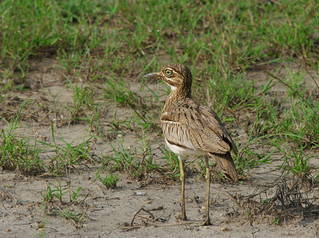Senegal Thick-knee | by Ser-val