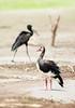 Spur-winged Goose, Plectropterus gambensis, Msuna Fishing resort, Zambezi River, Zimbabwe by Jeremy Smith Photography