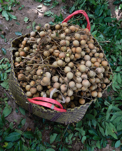 Just-picked longans in orchard in the Mekong Delta
