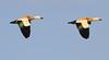 Ruddy Shelducks in flight by Wild Chroma