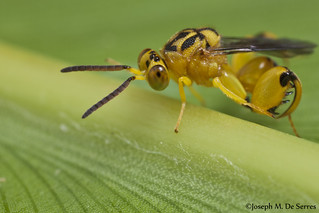Chalcididae (Conura sp.?)