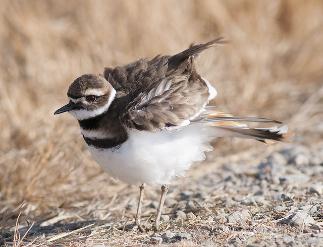 Fluffed up Killdeer
