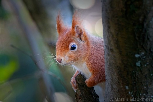 Red Squirrel 5360(6D2)
