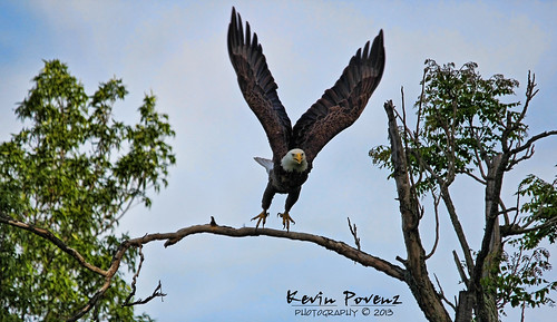 bird wings kevin eagle flight baldeagle may perch powerful takeoff 2013 povenz