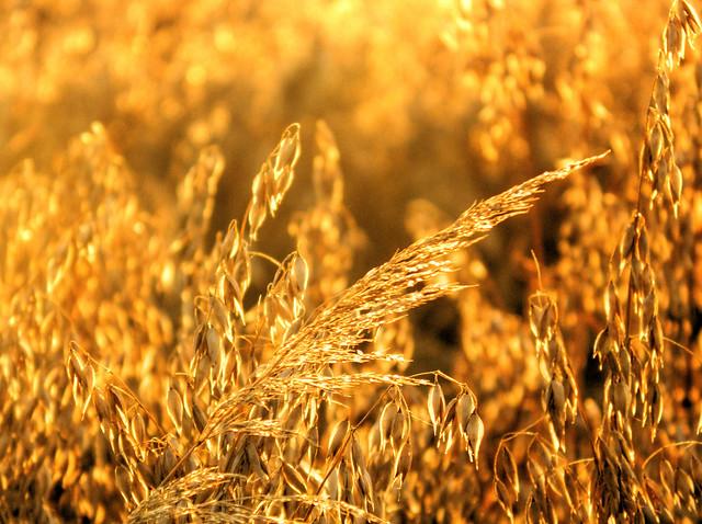 'As we walk in fields of gold'