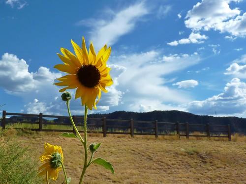 summer flower yellow newcastle landscape colorado sunny bluesky sunflower