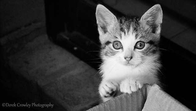 Cute kitten waving BW Portrait   www.derekcrowleyphotography.com