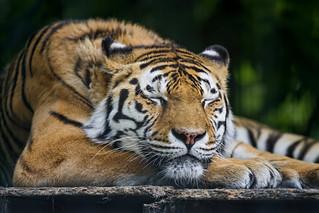 Sleeping Lucky | by Tambako the Jaguar