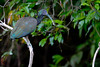 Mesembrinibis cayennensis by jquental