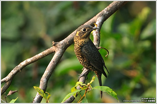Chestnut Bellied Rock Thrush | by oLDcaR