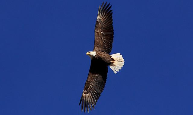 Bald Eagle, 11 February 2014 (4)