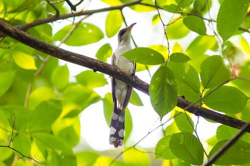 Yellow-billed cuckoo | by cricketsblog