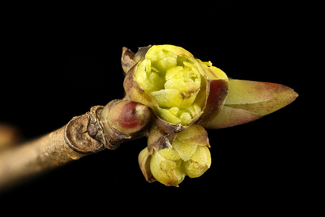 Lindera benzoin pistillate flower, 23 March 2017 spicebush, Howard County, MD, Helen Lowe Metzman_2017-03-24-16.44