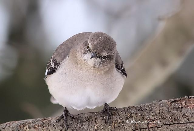 Ill-tempered Mockingbird