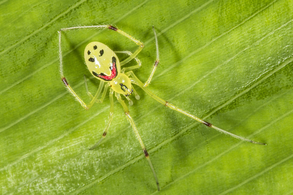 Image result for happy face spider