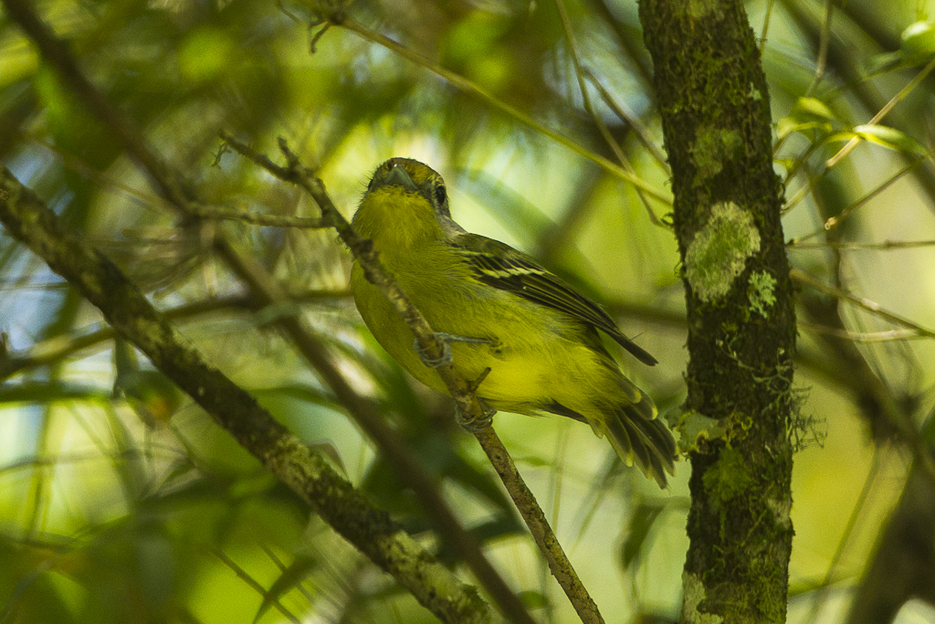 Wing-barred Piprites - Intervales NP - Brazil_S4E0066