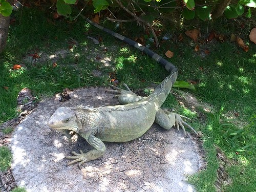 Iguana on the Island | by greggburch