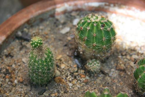 Echinopsis eyriesii et Parodia mammulosa [identifications] 33473180976_36205b10ea