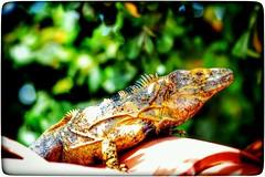 Esta bella Iguana la encontré en un tejado en la primavera #culiacan #mochilaalhombro #mochileros #mochileromx #viajeros #viajes #travel #travelphotography #viaje