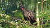Crested Guan,  Penelope purpurascens by jaytee27