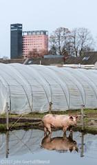 City Pig