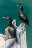 "Brandt's Cormorant ""Phalacrocorax penicillatus"" by david g schultz"