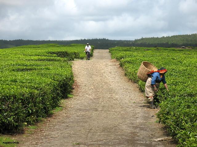 La piantagione di tea...Tea plantation.