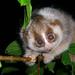Primate Conservation: Lorises