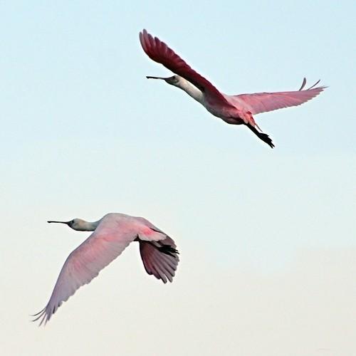 pink two flying inflight texas fulton rockport spoonbill roseatespoonbill ajaiaajaja nikond7000 nikkor18to200mmvrlens bayviewrvresort