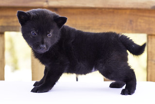 Nami-Litter1-Day40-Puppy1-Female(Kiyomi)-4 | by brada1878
