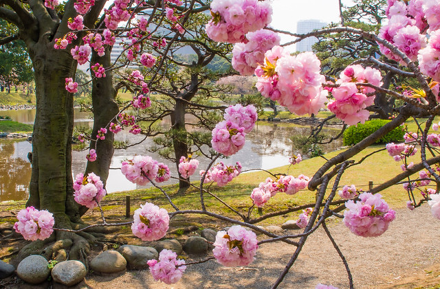Double Cherry blosom in the Hama-rikuyu gardens, Tokyo