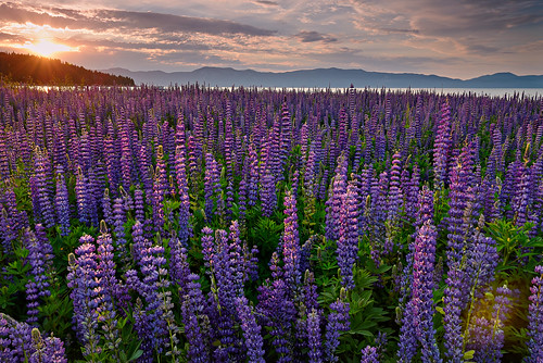california light summer sun lake mountains color nature water sunrise landscape nikon purple laketahoe explore wildflowers blooms easternsierras lupines landscapephotography explored