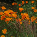 Flickr photo 'J20150521-0142—Eschscholzia californica—RPBG' by: John Rusk.