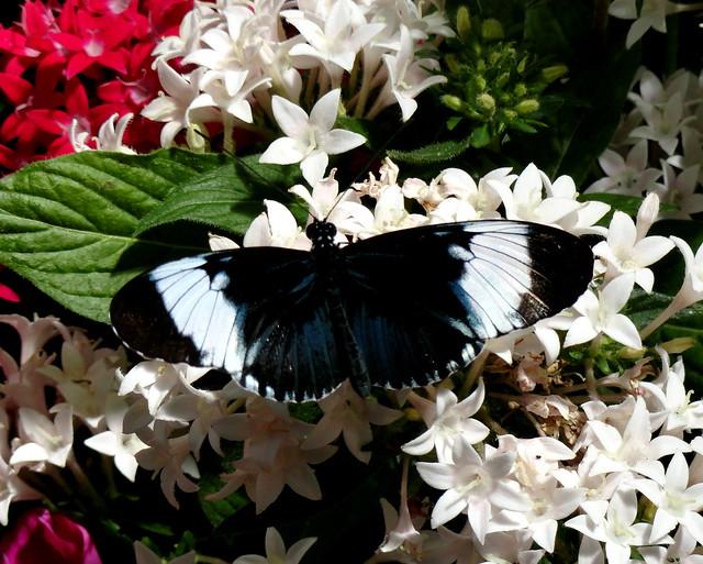 Black and White Helicon (Heliconius cydno)