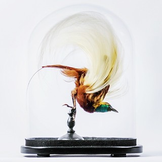 Taxidermy Lesser bird-of-paradise For sale at ayreandco co