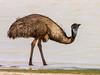 Emu (Dromaius novaehollandiae) by David Cook Wildlife Photography