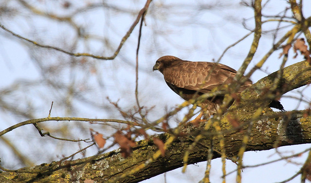 Buse variable - Dompierre/Fribourg/CH_20121231_001-1