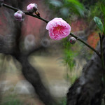 Peach flower 桃花