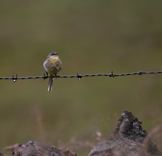 Juvenile Grey Wagtail | by themadbirdlady