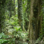 07 Viajefilos en Australia. Dorrigo Rainforest NP 10