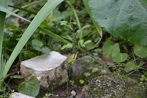Citrus trifoliata (= Poncirus trifoliata) - Page 2 32815305891_d62b8032bb