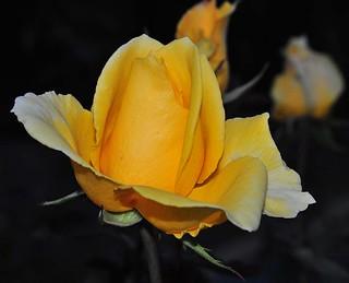 Morcom Garden Rose