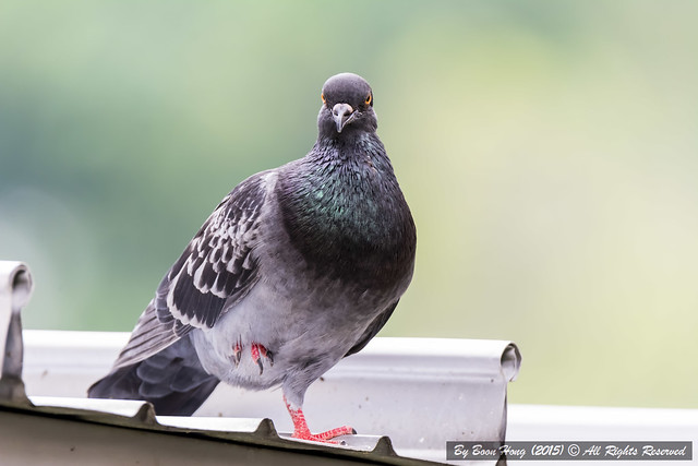Rock Pigeon or Rock Dove (Columba livia)_DSC9176-1