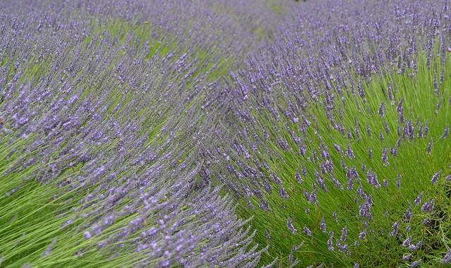 Waves of Lavenders