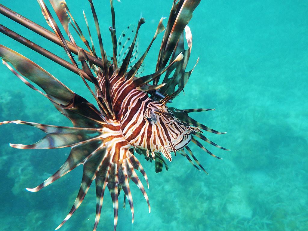 #137 Red Lionfish | Kingdom: Animalia Phylum: Chordata ...